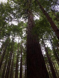 Rotorua trees